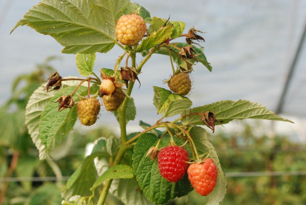 ripeness stages Raspberry