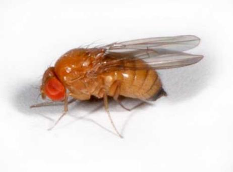 Spotted Wing Drosophila A vinegar fly Drosophila (like on a ripe banana)