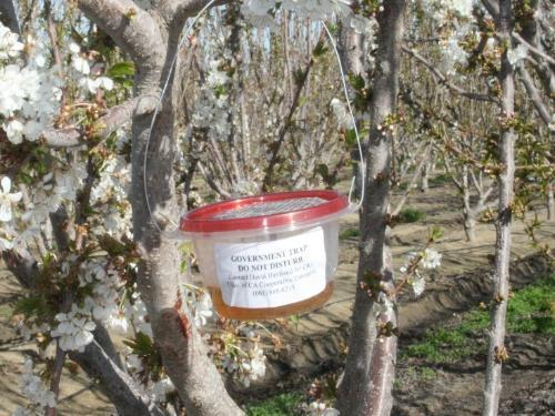 Phenology Studies Weekly monitoring of adult SWD 20+ traps monitored weekly since 2010 Monitoring in cherries, citrus
