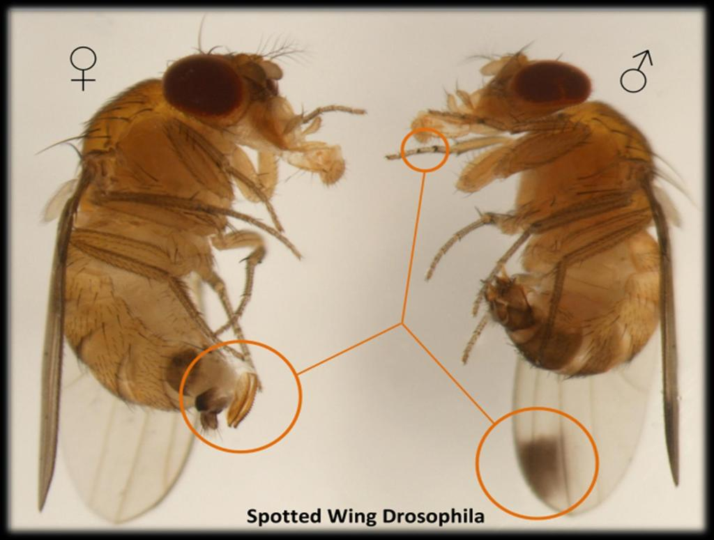 How to Identify SWD Flies with no dots on wings could be: FEMALE MALE SWD females Native