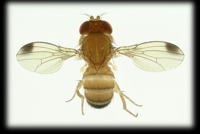 Significance Unlike other fruit flies, SWD attacks sound
