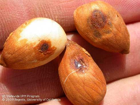 damage in almond. Photo 7.