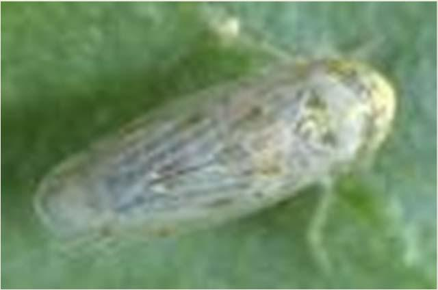 Beet Leafhopper Curly Top Virus Manage weeds
