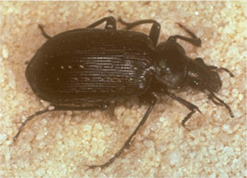 Beneficials Ground beetle Prey on vegetable and field crop insects