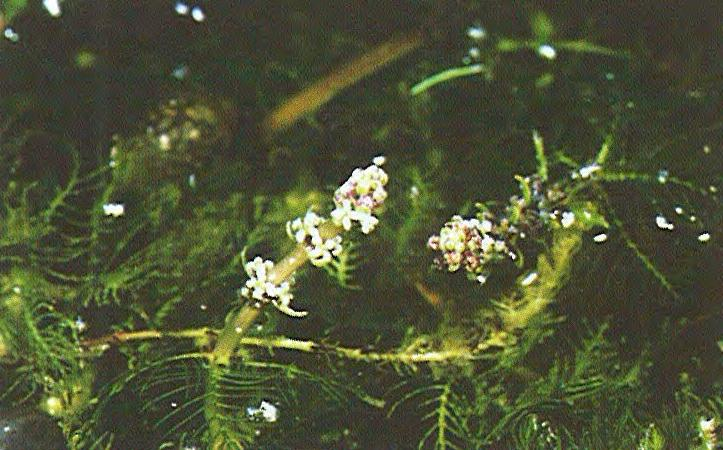 Eurasian Water Milfoil Myriophyllum spicatum Haloragaceae (Water Milfoil Family) Life cycle: Aquatic perennial.