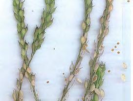 Stems: 30-90cm tall, erect, branched, covered with