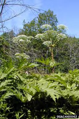 Hogweed, Giant Heracleum mantegazzianum Apiaceae (Carrot Family) Donna R.