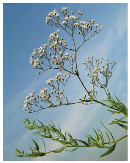 Flower: Numerous small white flowers, 5 petals. All: www.invasiveplants.ab.