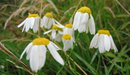 False Chamomile. Life Cycle: Annual, biennial, or short lived perennial.