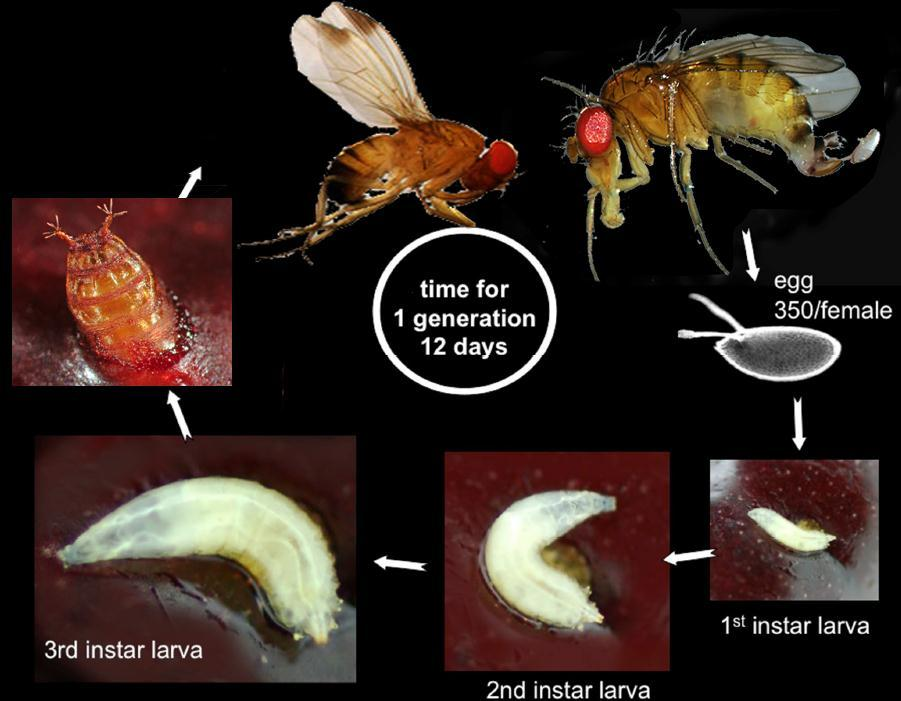 SWD Life Cycle Overwinters as Adults Male 20-30+ days Pupa Female 3-15