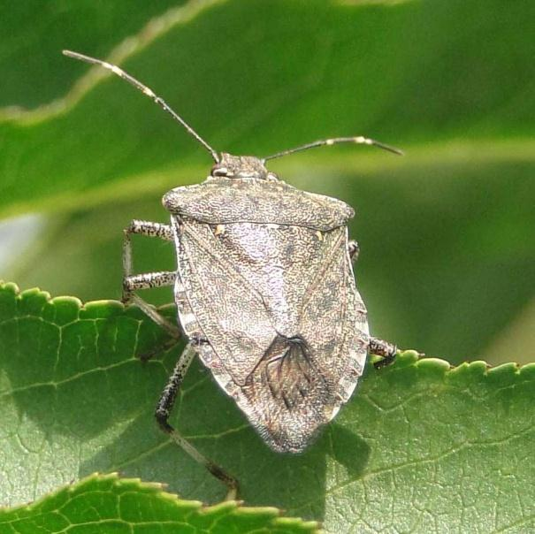 Brown marmorated stink bug,