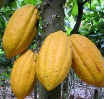 HISTORY OF GHANA AND COCOA Cocoa from