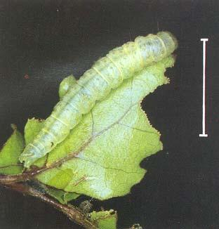 The caterpillars shed their skins four or five times to reach a final length of up to 25 mm for the greenheaded leafroller or 20 mm for the blacklegged leafroller and light brown apple moth.
