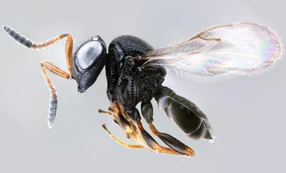 The Future Hoping to find Trissolcus japonicus in Utah Highly effective parasitoid native to Southeast Asia now found