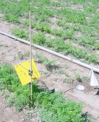 Figure 6. Yellow sticky traps attached to dowels approximately 1-inch above the carrot canopy at a 135 o angle to the ground. Figure 7.