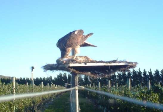 Figure 4.3: Australasian harrier feeding on rabbit carcass on a raised table at Pond Paddock vineyard, Martinborough, Wairarapa, 2011. 4.5 Discussion Despite the success of the pilot study in Canterbury, it proved difficult in Martinborough to attain the desired effect of harriers feeding from most of the raised tables.