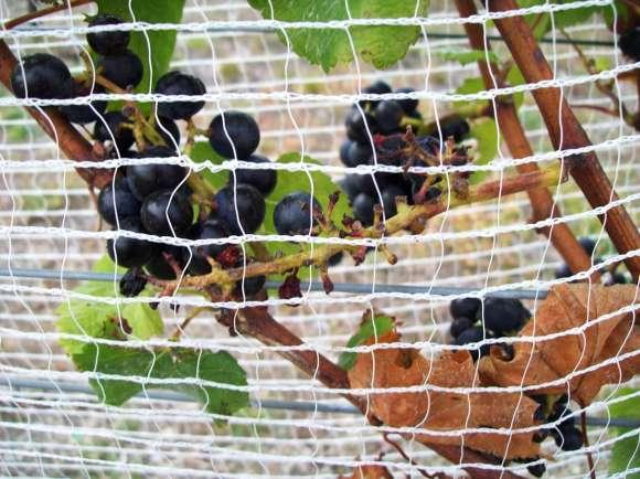 Figure 7.2: Grape damage caused by pest passerine birds despite netting. Missing grapes from the bunch can be seen with exposed pedicels, close to the edge of the netting.