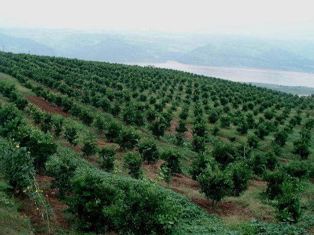 1.4 The Improvement of Fruit Quality Decreasing the density to improve the micro-environment in the orchards.