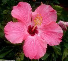 Hardy hibiscus very popular in the