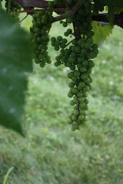 7 Development of wine grapes at the Peninsular Agricultural Research Station (PARS) Sturgeon Bay, WI and the West Madison