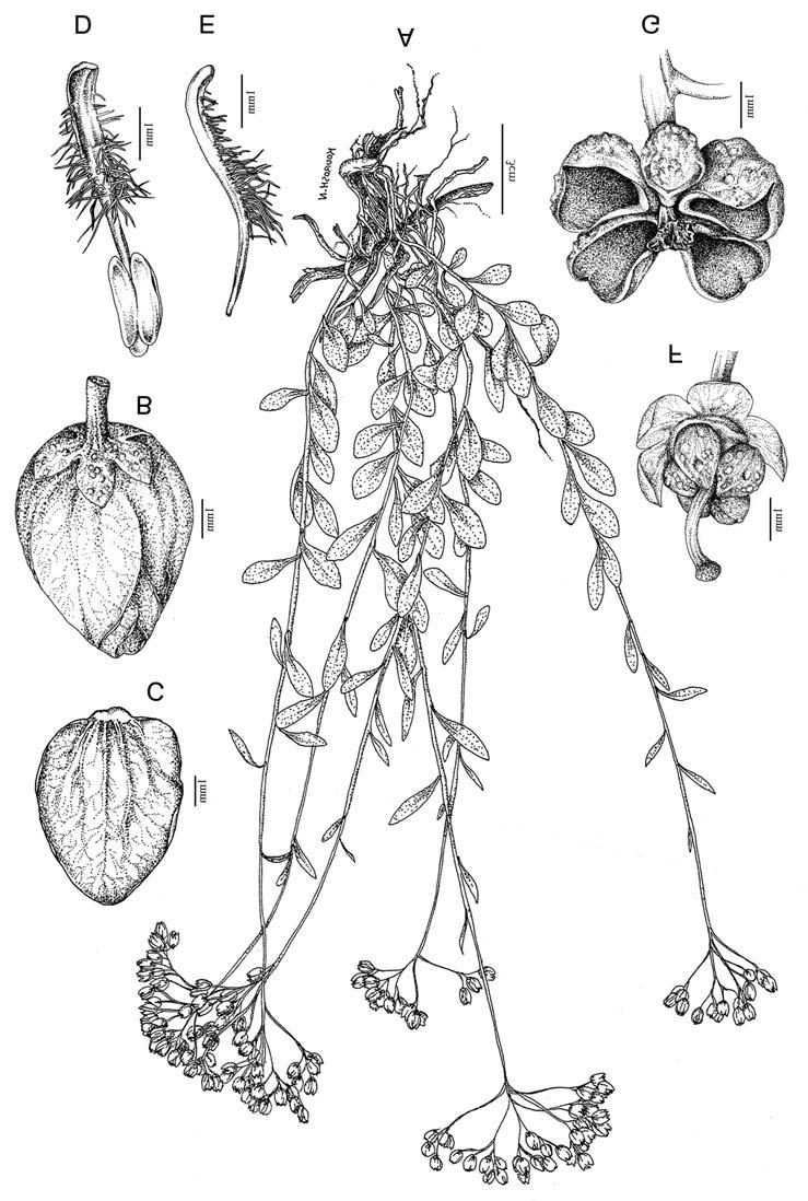 294 Soltani & Khosravi: A new species of Haplophyllum from SW Iran Fig. 1.