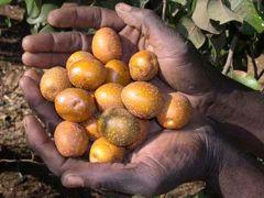 264 LOST CROPS OF AFRICA Fruits of the mobola gingerbread plum are reddish-yellow mottled with gray.