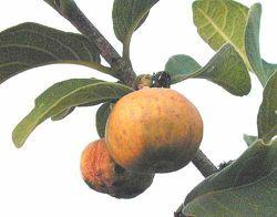 302 LOST CROPS OF AFRICA The mealy fig-like flesh of the African medlar is sweet and refreshing and tastes somewhat like apple. It is an important and popular food.