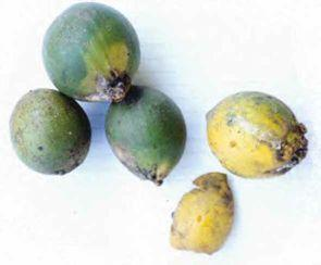 320 LOST CROPS OF AFRICA Fruits of white star apple (Chrysophyllum albidum). African star apples remain horticulturally undeveloped and their nutritional qualities are undocumented.