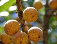 326 LOST CROPS OF AFRICA More than 30 species of wild fruit trees belonging to the genus Uapaca can be found across Africa.