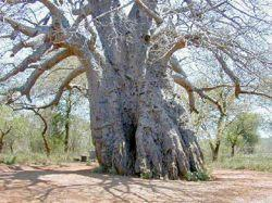 42 LOST CROPS OF AFRICA Few trees on earth engender respect like baobab. Millions believe it receives divine power through the branches that look like arms stretching toward heaven.