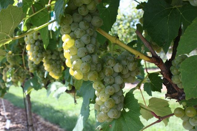 4 Development of wine grapes in the grape variety trials
