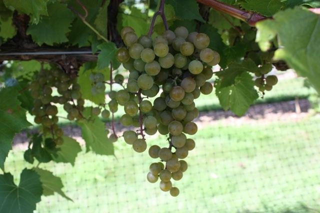 5 Development of wine grapes in the grape variety trials