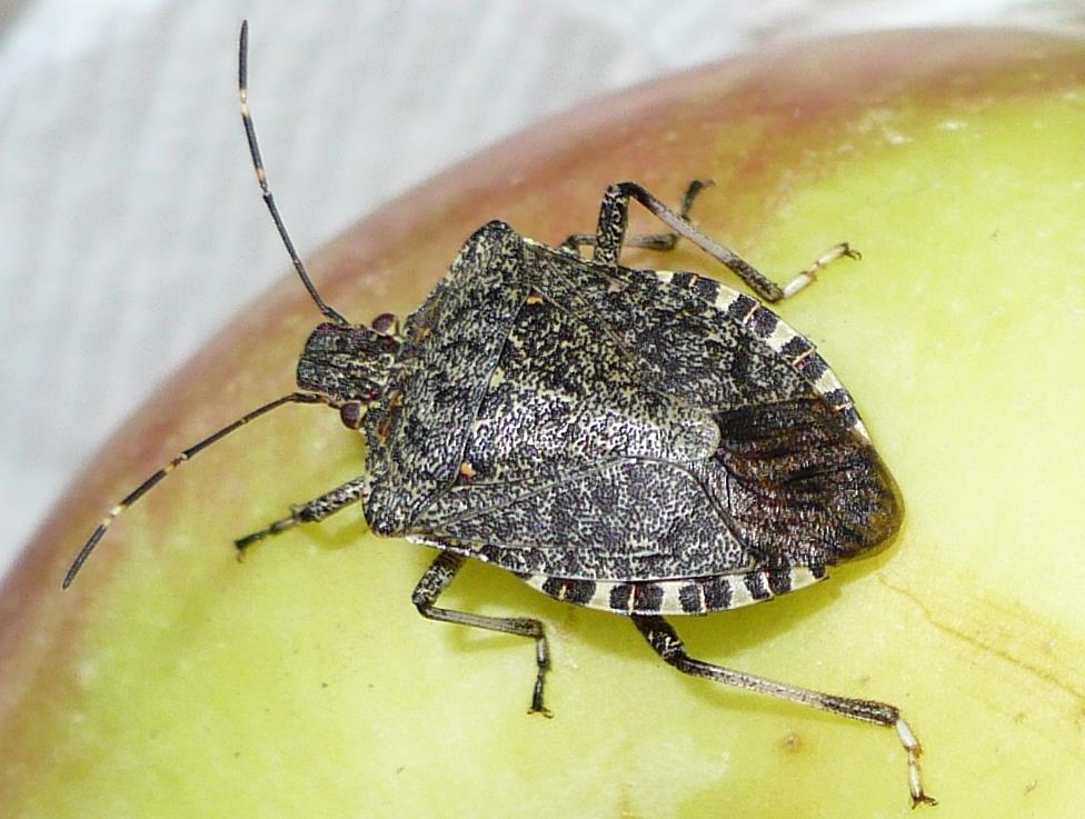 In 2010, an estimated loss of $37 million due to brown marmorated stink bug feeding was reported by the apple industry in the Mid- Atlantic States.