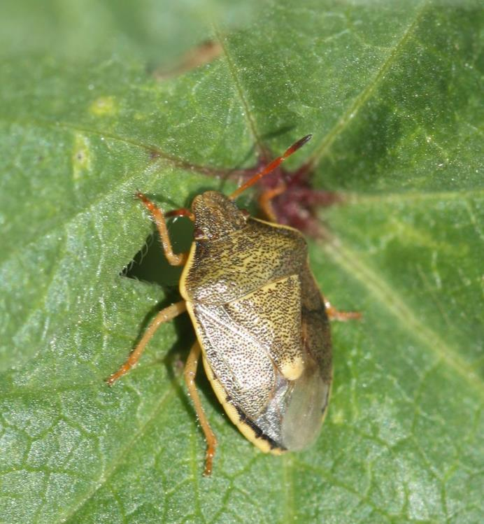Credits: Adult brown marmorated stink bug photo,