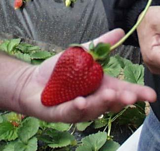 Opportunities for strawberry production using new U.C.