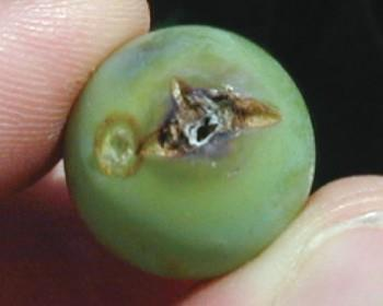 GBM eggs are translucent and difficult to see. The development of dark spots on the eggs signifies maturation. Damage: Larvae feed inside berries before and after veraison.