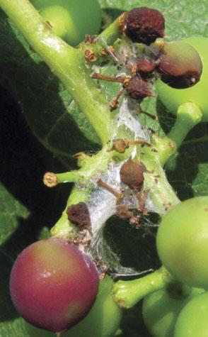 Damage by grape berry moth after veraison predisposes berries to secondary infections such as Botrytis and sour rots. A sure sign of this pest is the presence of webbing around the fruit clusters.