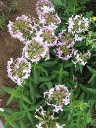 Soapwort Saponins Soapwort is a common hardy flowering plant that grows