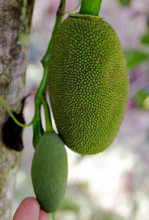 Origin and distribution: Jack fruit is indigenous to India, commonly grown in Sri Lanka, Malaysia, Brazil,