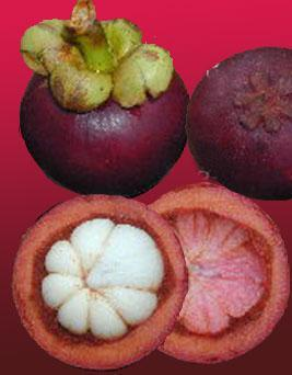 2. G. cowa- available in the tropical forests of Assam, Bengal, Orissa and Andaman, Fruits are edible. 3. G. schomburgkiana- fruits are used as a preserve.