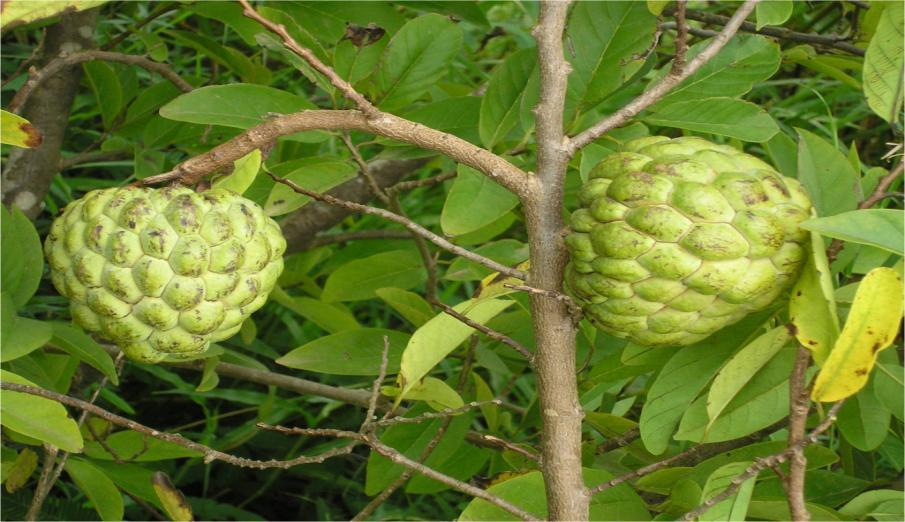 ANNONA (SUGAR APPLE) B.N. Annona Squamosa Linn. Family: Annonaceae Chromosome No. : 2n = 14 Origin: Tropical America - Peru The custard apple has been growing in India from time immemorial.