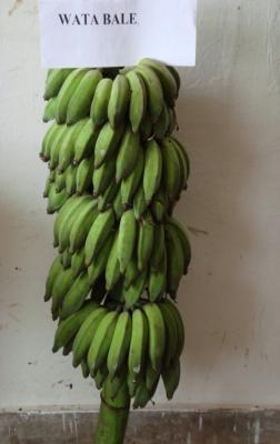 crop. International Network for Improvement of Banana and Plantain (INIBAP) -