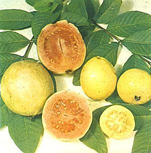 guajava- It is the commercially cultivated species, rest of them do produce fruits but small size, inferior quality and with high acid content. 2. P.