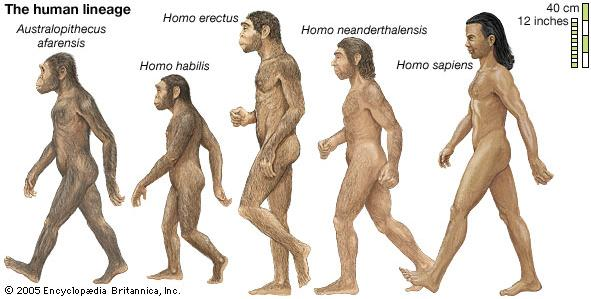 Hominids Humans, or homo sapiens, are from a class of animals called Hominids are