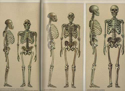 Over time, hominids became more like modern humans The
