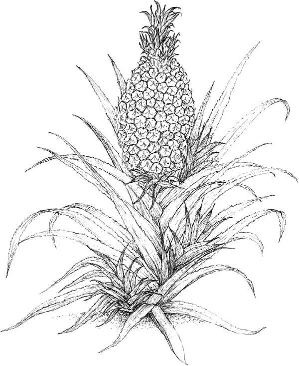 The Pineapple Botany Production And Uses